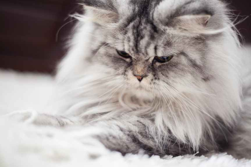gray and white persian cat